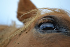 (--LamaRose--) Tags: horses horse brown eye cheval oeil marron oreille crinire
