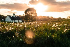 Dandelions Pt 6 (Big_Nikkors) Tags: flowers sunset summer nature grass landscape dandelions chorleywood