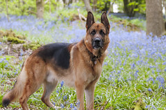 connor 210 (pavmaster) Tags: flowers trees summer portrait dog pets tree dogs nature water animals puppy downs sussex landscapes nikon husky brighton shepherd south mastiff wide connor sigma terrier german tulip pup germanshepherd alsatian southdowns shepard puppys gsd d90 highqualitydogs
