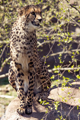Cheetah portrait III. (Raveniith) Tags: wild portrait nature beautiful animal tongue cat zoo spring big sweden wildlife teeth cheetah