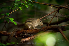 Little Chipmunk (LifeisPixels - Thanks for 4 MILLION views!) Tags: wild tree cute animals lens thailand squirrel bokeh g sony chipmunk thai rodents ff ssm chonburi f456 70400mm a99 lifepixels sal70400g lifeispixels lifeispixelscom httpwwwlifeispixelscom