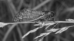 157/365: Cicada close-up on grass stem (2013 Brood II, Magicicada septendecim, also called Pharaoh Cicada or the 17-year Locust) (Stephen Little) Tags: 50mmf17 sooc minolta50mmf17 straightoutofcamera minoltaaf50mmf17 minolta50mm sonya77 jstephenlittlejr slta77 sonyslta77 sonyslta77v sonyalphaslta77v