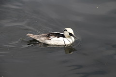 Smew (Munki Munki) Tags: blackandwhite nature birds duck washington conservation waterfowl northeast smew washingtonwetlandcentre sawbillduck blackwoodpeckerholes