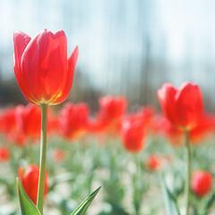 Tulip (richardhwc) Tags: flower 120 6x6 film rolleiflex mediumformat kodak tulip qingdao 35e planar carlzeiss portra400 75mmf35 rolleinar2 coatingdegraded