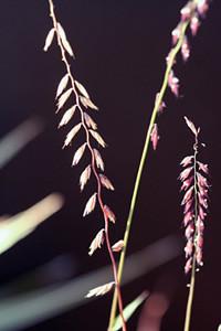 Photo - Sideoats Grama grass