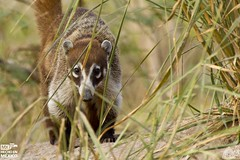 2013_062 (kgorka) Tags: animal canon mexico sigma nayarit nuevovallarta kata coati tejon mamifero pizote eos7d gorkabarreras