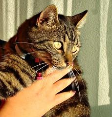 Amy  (Deejay Bafaroy) Tags: portrait pet cute animal closeup cat eyes feline kitty sunny portrt katze augen sonnig haustier tier moggy mieze katzenaugen tigerli bsi