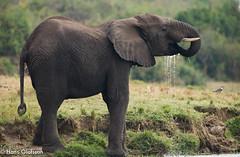 Elephant, Elefant (Hans Olofsson) Tags: africa elephant nature animal wildlife natur adventure safari afrika uganda elefant bigfive ecotourism djur ecotour ecoturism kazingachannel
