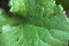 Textura Verde (Jos Ramn de Lothlrien) Tags: macro verde helecho hojas flora plantas flor rosa jr pasto shamrock follaje troncos ramas trebol treboles producciones venas malesa venitas malbo