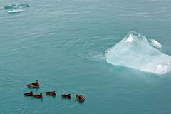 Icebergs and ducks in Jokulsarlon glacier lake, Iceland (Miche & Jon Rousell) Tags: blue lake ice iceland glacier iceberg jokulsarlon vatnajokull glacierlake hoffellsjokull hoffellsion