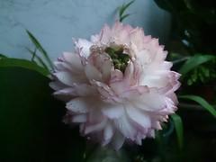 Lotus (ddsnet) Tags: plants home lotus sony aquatic aquaticplants          plants  aquatic xperia xperiaz c6602