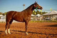 36 Expointer (expointer2013) Tags: brasil rs cavalo riograndedosul equino esteio parquedeexposiesassisbrasil expointer2013 36expointer governodoestdodoriograndedosul