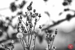 Summer ends.. 6 (Kasia Sokulska (KasiaBasic)) Tags: canada weeds edmonton meadow alberta endofsummer