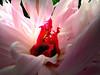 Paeonia sp 1306160338_PS1_ (Pixel-Cat) Tags: plant flower macro berlin pflanze blume blüte gardensoftheworld inflorescence paeonia paeonie hellersdorf infloreszenz paeonicaceae