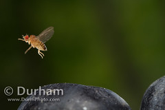flying Drosophila (Michael Durham) Tags: research fruitfly highspeedphotography vinegarfly drosophilamelanogaster dewfly flyingfly flyingfruitfly vacciniumcorimbosum americanblueberry fruitflyflight redfruitfly