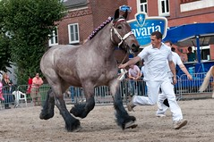 DSC_5537 (Ton van der Weerden) Tags: horses horse de cheval nederlands belges draft chevaux belgisch trait gemert trekpaard trekpaarden fokpaardendag ninavandekannelust