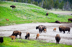 Bison Calves and Their Moms (SKS Photos) Tags: green landscape buffalo scenic yellowstonenationalpark bison calves