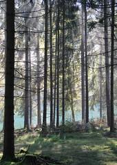 Green columns (:Linda:) Tags: mist germany village thuringia sunbeam conifer nadelbaum gossmannsrod
