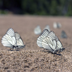 pilgrims (Sergey S Ponomarev) Tags: summer macro nature canon butterfly wings sand outdoor butterflies 600d vyatka sergeyponomarev