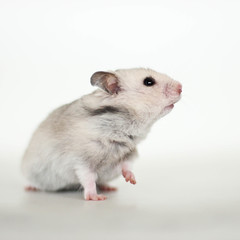 Loholts Laila (astakatrin) Tags: pet baby pets white black cute animal animals silver grey golden furry babies background fluffy tortoiseshell hamster tts shorthaired syrian hamters