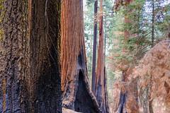 Sequoia National Park (Edi Bähler) Tags: california usa unitedstates familie wald ferien sequoianationalpark kalifornien mammutbaum vereinigtestaaten 2470mmf28 nikond3