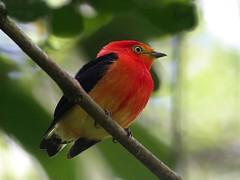 NE Brazil: Band-tailed Manakin (spiderhunters) Tags: brazil rainforest ceara manakin neotropics baturite piprafasciicauda bandtailedmanakin serrabaturite