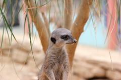 Simples.......... (Adam Halstead) Tags: portrait face canon lens eos is meerkat with usm f4l 24105mm 550d