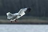 Oie des neiges / Snow Goose (alain.maire) Tags: canada bird nature quebec oiseaux anatidae snowgoose chencaerulescens oiedesneiges