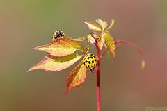 Autumn Beauties (Vie Lipowski) Tags: autumn fall nature bug insect leaf wildlife beetle ladybird ladybug ladybeetle thicketcreeper parthenocissusvitacea falsevirginiacreeper vision:text=0557 vision:flower=0689 vision:plant=062
