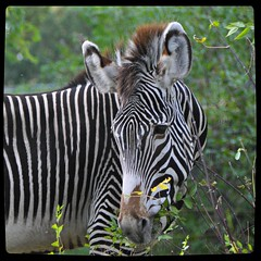 Life at the Zoo (Stella Blu) Tags: animal stripes squareformat zebra edmontonalberta nikkor18200 stellablu valleyzoo 15challengeswinner favescontestwinner thechallengefactory nikond5000 herowinner pregamewinner favescontestfavored