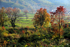 Autumn trees (Mel@photo break) Tags: life china autumn light people plant color tree green fall field rural work countryside colorful branch afternoon village folk country vegetable mel foliage crop melinda agriculture anhui   chanmelmel melindachan