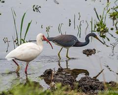 Tag Team (BFS Man) Tags: statepark bird heron water texas ibis whiteibis tricoloredheron brazosbend