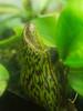 N. 'Caladium' (Wire Man) Tags: plant pitcher carnivorous nepenthes caladium maximaxcampanulata