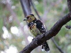 IMG_1861 (Marko_J_Aho) Tags: bird southafrica 5star kruger 4star crestedbarbet letabacamp afrikka2013