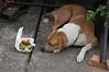 not eat (KumaYami) Tags: food dog อาหาร หมา สุนัข หมาไม่แดก