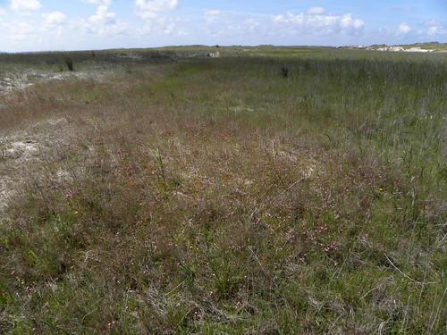 Centaurio-Saginetum trifolietosum fragiferi