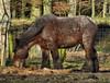 Heavy Horse in winter coat (joeke pieters) Tags: horse paard drafthorse werkpaard nijverdal heavyhorse trekpaard sallandseheuvelrug platinumheartaward mygearandme 1130471 panasonicdmcfz150
