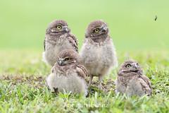 """Cute but not too bright"" Part 4 (Megan Lorenz) Tags: travel wild baby bird nature florida wildlife young owl garcia avian birdofprey burrowingowl owlet 2013 mlorenz meganlorenz"