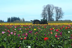 Tulip Farming (Cole Chase Photography) Tags: tractor field oregon canon spring tulips tulip pacificnorthwest johndeere t3i woodburn woodenshoetulipfestival