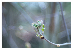 Unbudding (leo.roos) Tags: buds spring lente leaves darosa leoroos trioplan meyer hugomeyer görlitz meyeroptik meyertrioplan10028 1955 m42