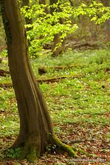 Frühling im Wald (grafenhans) Tags: sony 55 tamron wald baum slt frühling 2590 grafenwald slt55