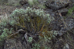 Bonzai Master (Pictoscribe) Tags: grant brush sage co wa shrub habitat bonzai steppe twists silvered pictoscribe