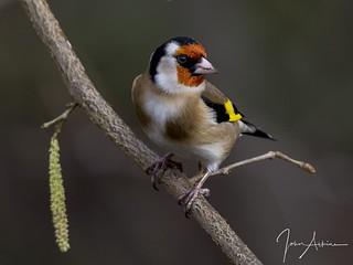 Goldfinch study ( 1 ) 16/02/17