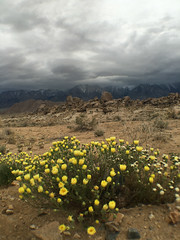 Alabama Hills Spring (Jeffrey Sullivan) Tags: alabamahills blm iphone 6s apple iphone6splus mobile phone cellphone camera images iphoneography california usa photo copyright 2016 jeff sullivan april inyocounty easternsierra alabama hills recreation area bureauoflandmanagement wildflowers flowers desert lonepine trackthebloom