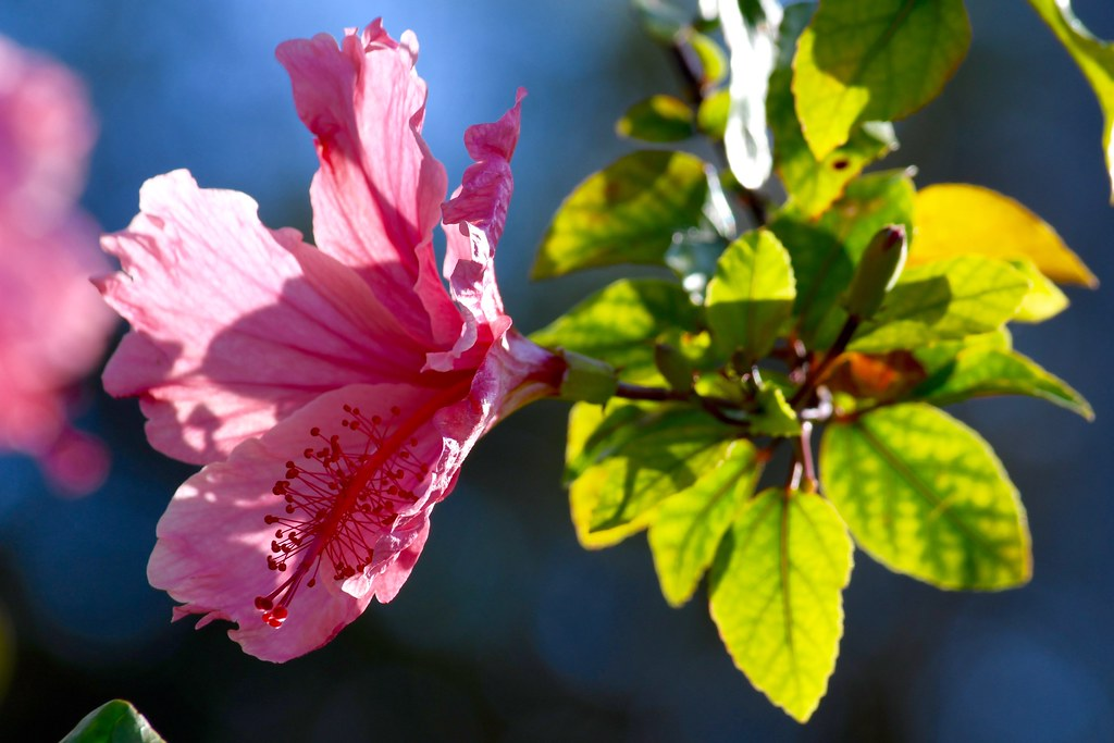 tag pink hibiscus flower - photo #8