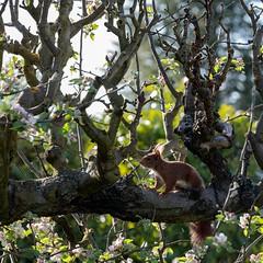eekhoorntje in appelboom ... (doevos) Tags: eekhoorn eichhörnchen eurasianredsquirrel sciurusvulgaris squirrel appelboom gewoneeekhoorn pommier redsquirrel rodeeekhoorn écureuil