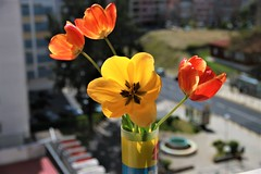 Welcome Spring (joniaraujo) Tags: flower spring primavera lisboa lisbon portugal europe canon eos 1585