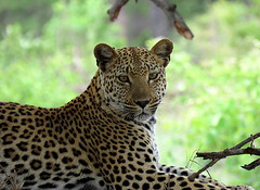 Luiperd / Leopard (Bruwer Burger.) Tags: luiperd leopard coth5 ngc npc