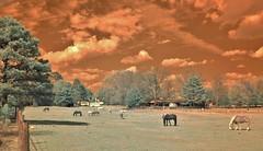 Cloudy Day at the Pasture (Neal3K) Tags: pasture horses clouds henrycountyga ir infraredcamera kolarivisionmodifiedcamera