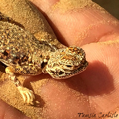 Arabian Toad-headed Agama (tinlight7) Tags: agama toadheadedagama arabian lizard reptile desert sand sharjah uae hand taxonomy:kingdom=animalia animalia taxonomy:phylum=chordata chordata taxonomy:subphylum=vertebrata vertebrata taxonomy:class=reptilia reptilia taxonomy:order=squamata squamata taxonomy:suborder=sauria sauria taxonomy:family=agamidae agamidae taxonomy:genus=phrynocephalus phrynocephalus taxonomy:species=arabicus taxonomy:binomial=phrynocephalusarabicus arabiantoadheadagama phrynocephalusarabicus arabiantoadheadedagama taxonomy:common=arabiantoadheadagama taxonomy:common=arabiantoadheadedagama